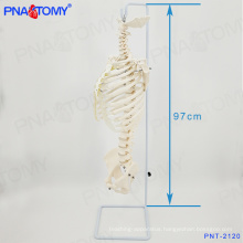 PNT-2120 life size spine model with ribs and pelvis